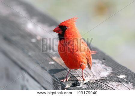 Close up shot of Cardinal