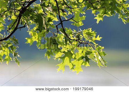 close up shot of Pin Oak leaves