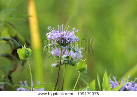 Wild purple flowers in the meadow