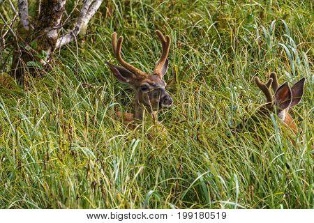 Wild mool deer feeding in high grass North America