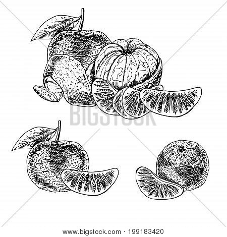 Hand drawn set of mandarin. Retro isolated sketches. Vintage collection. Linear graphic design. Pieces of tangerine. Black and white image of fruit. Vector illustration.