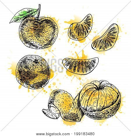Watercolor hand drawn set of mandarin. Retro isolated sketches. Vintage collection. Linear graphic design. Pieces of tangerine. Black and white image of fruit. Vector illustration.