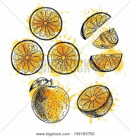 Watercolor hand drawn set of orange. Retro isolated sketches. Vintage collection. Linear graphic design. Slices of orange. Black and white image of fruit. Vector illustration.