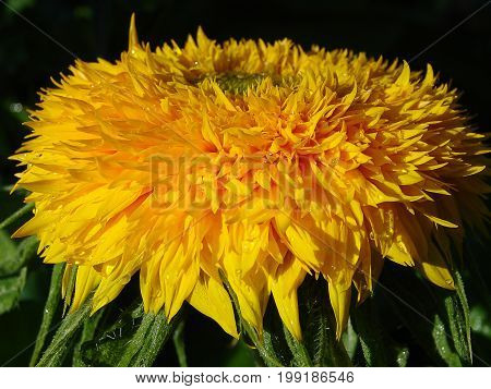 Growing sunflowe field landscape in Tuscany. Natural background, Sunflower blooming, Sunflower oil improves skin health and promote cell regeneration sunflowers .r  Close-up of sunflower.