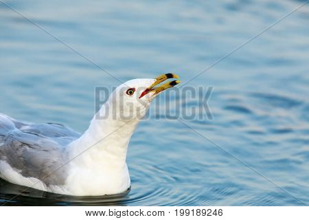 California Gull (Larus californicus) Calling. Shoreline Lake, Santa Clara County, California, USA