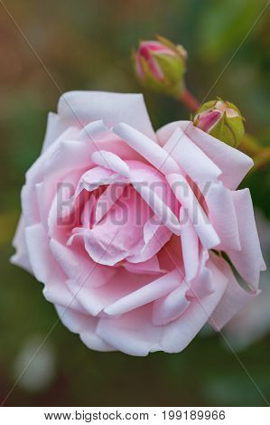 Light pink rose flower with buds. Beautiful flower on blurry background