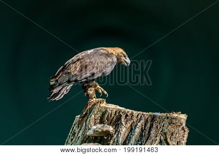 Image of a large bird of prey