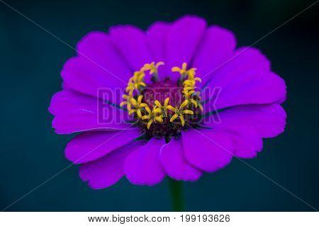 Beautiful light purple zinnia flower. Close-up of blooming zinnia flower growing in the garden