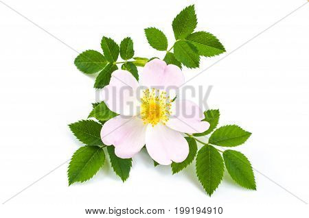 Pink wild rose dog rose flowers with green leaves. On white background