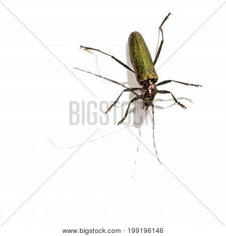 one longhorn beetle isolated on white background