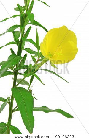 Common evening primrose evening star sun drop - (Oenothera biennis) flowering plant isolated against white background