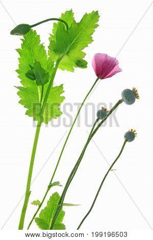 Poppy flower (Papaver somniferum) flowering plant isolated against white background