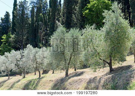 Olive trees near Greve in Chianti on Tuscany Italy