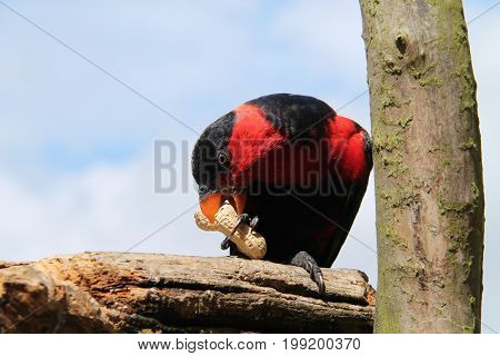 A Red Breasted Black Capped Lory Parrot Bird.