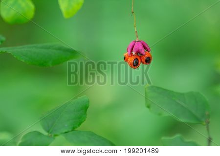 Bright blurred green natural background with red fruits Euonymus.