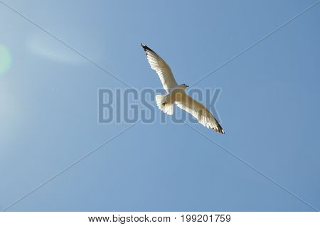 Seagull flying in the sky with sunshine in background
