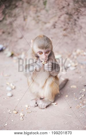 Baby rhesus macaque eating a peanut in Xichang forest, China