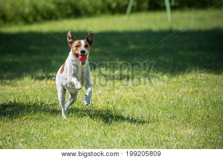 Danish Swedish Farmdog playing fetch with a ball. This breed, which originates from Denmark and southern Sweden is lively and friendly. poster