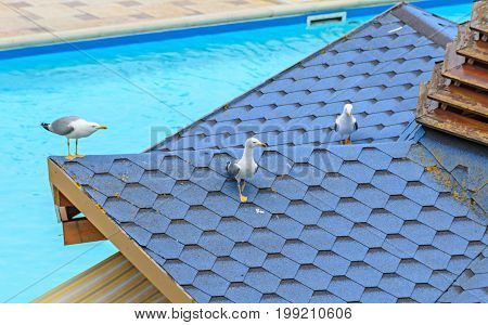 Seagull Bird Standing On A House Pool Roof, Close Up