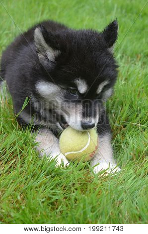 Eight week old alusky pup chewing on a tennis ball.