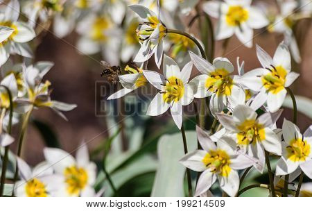 small white flowers with six petals, a yellow heart with a green pestle and dark brown stamens, on one sturdy stem several branches with plant in full bloom, lit by sun, spring, small bee near flower