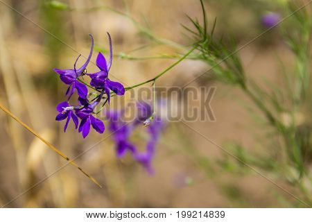 Forking larkspur (Consolida regalis) flower on the meadow