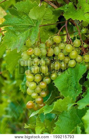 Bunch of grapes on a vine in the sunchine. The winegrowers grapes.