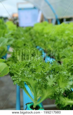Green plant in organic hydroponic vegetable garden.