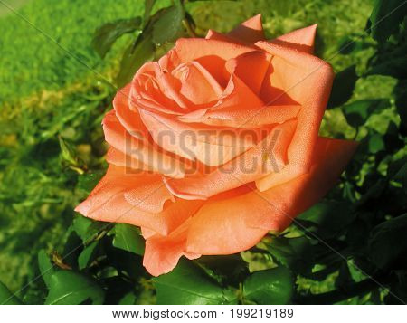AN ORANGE ROSE IN FULL BLOOM, WITH A GREEN BACK GROUND 37