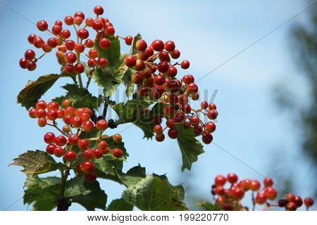 Red summer berries in the blue sky.