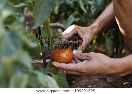 closeup of a young caucasian man picking a tomato with pruning shears from the plant in an organic orchard