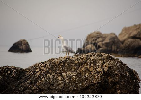 Seagull on a rock by the sea. Angry bird