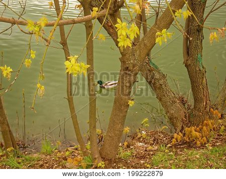 the lone duck in the pond in the spring Moscow, ulitsa Kravchenko