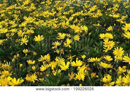Yellow Marguerite Flowers