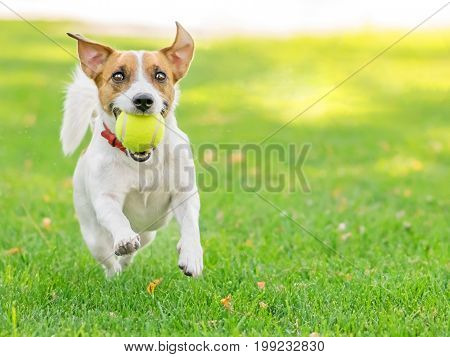 A cute happy dog Jack Russell Terrier playing with a small Tennis ball on green lawn outdoor at summer day