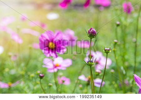 Purple cosmos flowers in the flowers garden. Cosmos in park