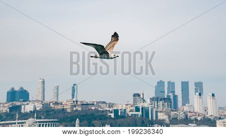 Istanbul Turkey - April 2015: Seagull in focus flying in front of Istanbul cityscape Turkey