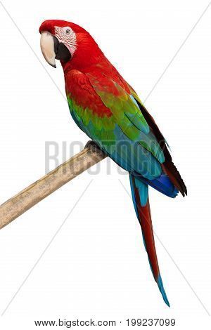 parrot (ara chloroptera) isolated on a white background