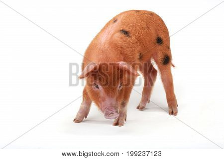 red pig isolated on a white background, studio shot
