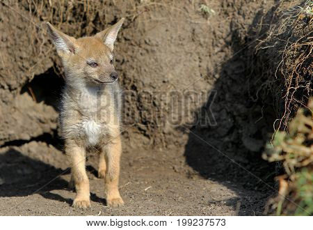 Black Backed Jackal Pup standing outside the den looking for it's Mother Masai Mara National Park Kenya