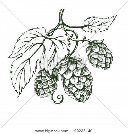Outline monochrome vector sketch of hops branch