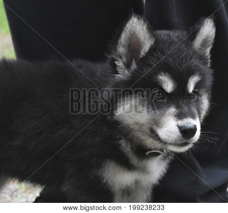 Distinctive black and white markings on an alusky puppy.