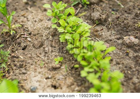 Radish Sprouting In Garden