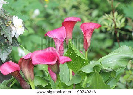 Calla Lily-Purple growing in a small roadside garden.