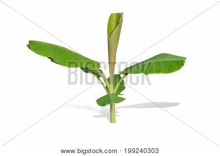 young banana tree isolated on white background. File contains a clipping path.