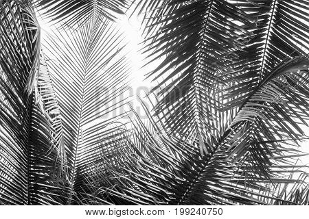 Abstract white and black coconut palms leaf on white background