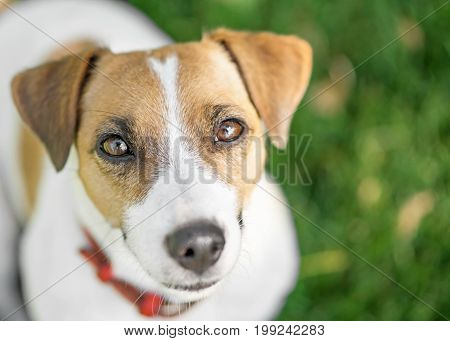 A cute dog Jack Russell Terrier with smart looking eyes outdoor at summer day