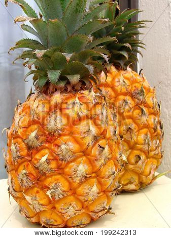 THE PINEAPPLE OR ANANAS COSMOSUS IS INDIGENOUS TO SOUTH AMERICA