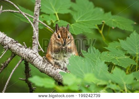 chipmunk on the tree with green leaves in a forest