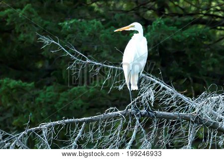 A great white heron standing on a branch over a stream as it is hunting fish for dinner in the early evening Sunken Meadow State Park in New York